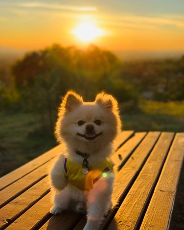 Pomeranian in front of a sunset