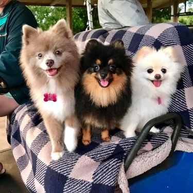 Three Pomeranians