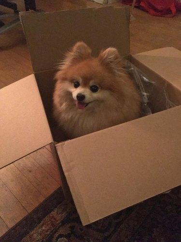 Pomeranian sitting in a cardboard box