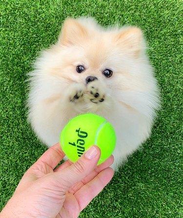 Pomeranian reaching for a tennis ball