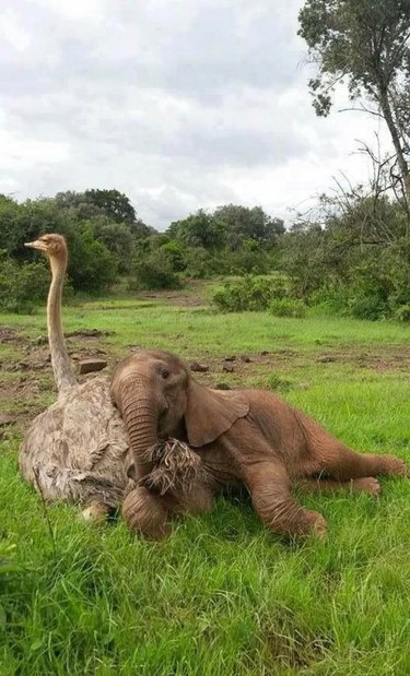 baby elephant cuddles with ostrich