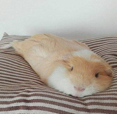 Guinea pig looks like it's melting.