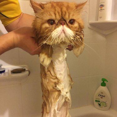 Cat with wet body looks like it melted in the water.