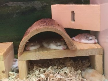 Hamsters look like they've melted flat.