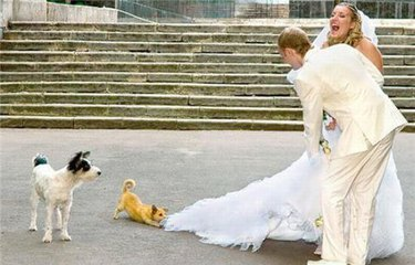 Little dog playing tug of war with bride's dress