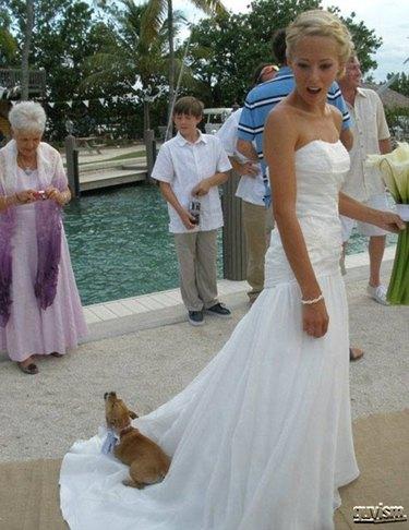 Dog getting a ride on train of wedding dress