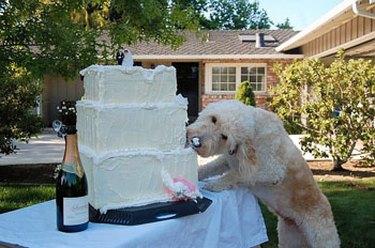 Dog getting  a little taste of the wedding cake
