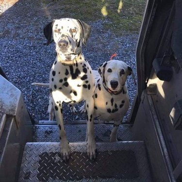 Two Dalmatians waiting on the steps of a UPS truck