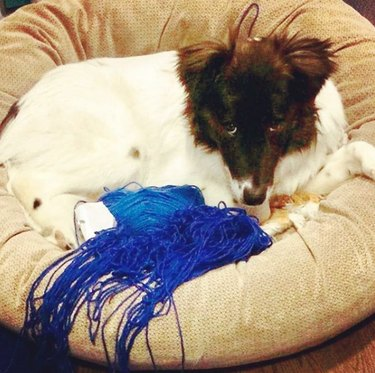 dog with blue yarn