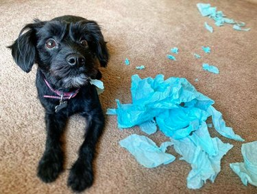 dog with chewed up blue tissue paper