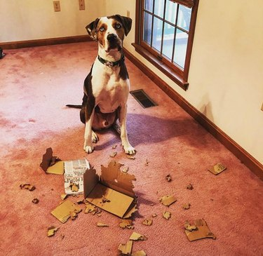 dog with chewed up cardboard box