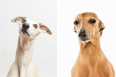 Whippet and Italian Greyhound