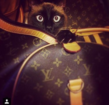 Cat with Louis Vuitton bags.