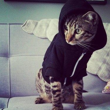 Cat wearing  hoodie.