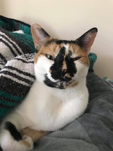 cat with markings on nose