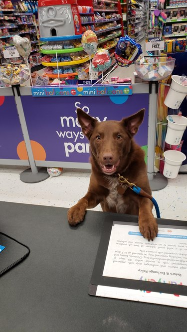 Dog standing at counter of party supply store