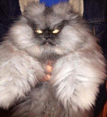fluffy cat with lazer eyes