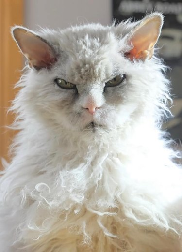 grumpy curly haired cat