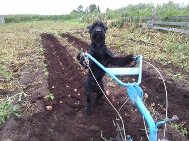 Dog farming potatoes