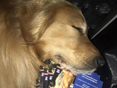 Dog Mayor Max asleep on a stack of postcards