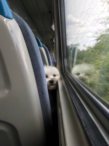 Puppy on a train gazing out the window