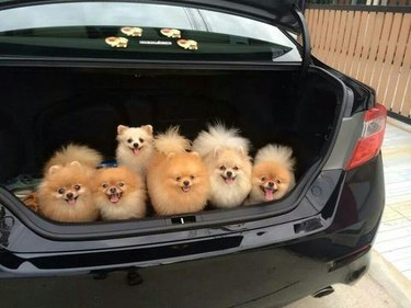 Six Pomeranians in the trunk of a car