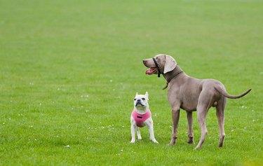 Big dog and small dog on grass outside
