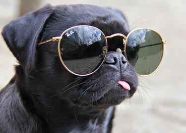 Pug wearing sunglasses