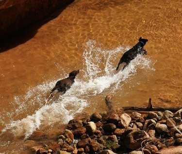 Two dogs running through water