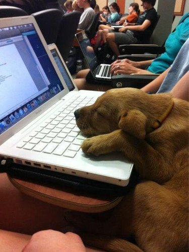 Puppy in a lecture hall sleeping on a laptop