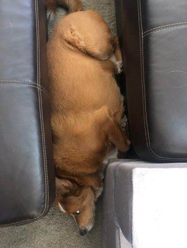 Chubby dog wedged between sofa and ottoman