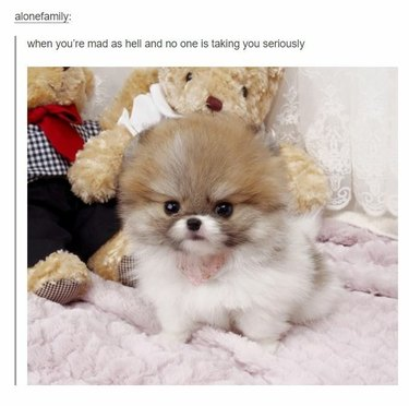 Small, fluffy, angry-looking dog