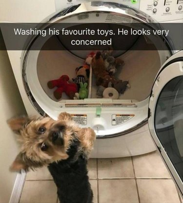 Yorkie looking at his toys in dryer looking very concerned