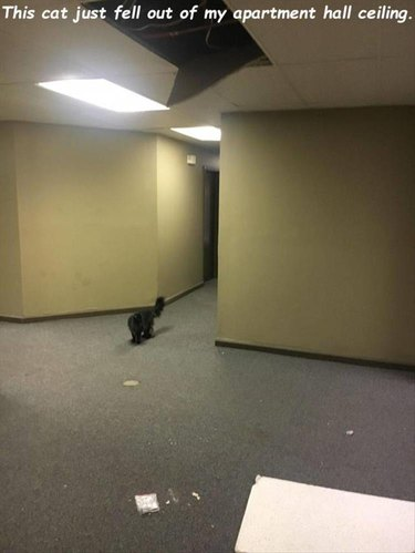 Cat fell out of apartment hall ceiling