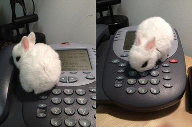 Tiny bunny sitting on an office telephone