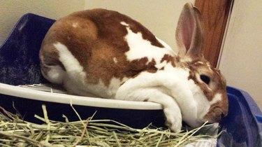 Floppy rabbit sliding off bed