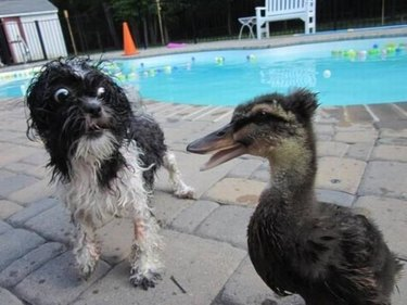 Dog looking very surprised by a duck