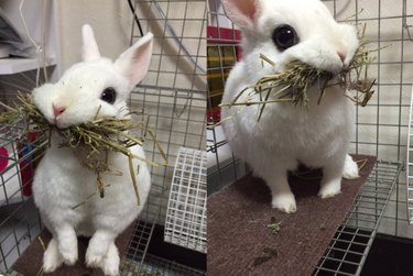 Rabbit with its mouth full of hay
