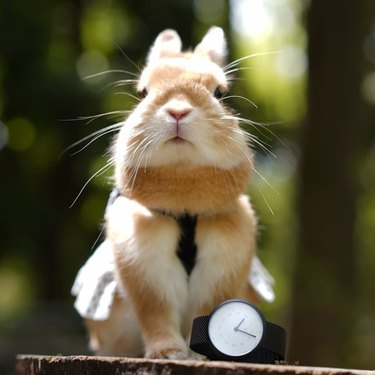 Rabbit posing with a watch