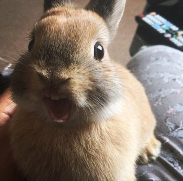Excited rabbit with its mouth open