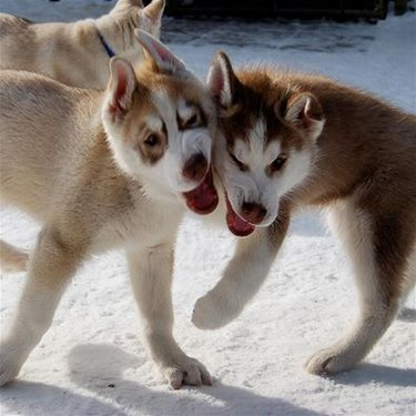 Two Husky puppies running into each other.