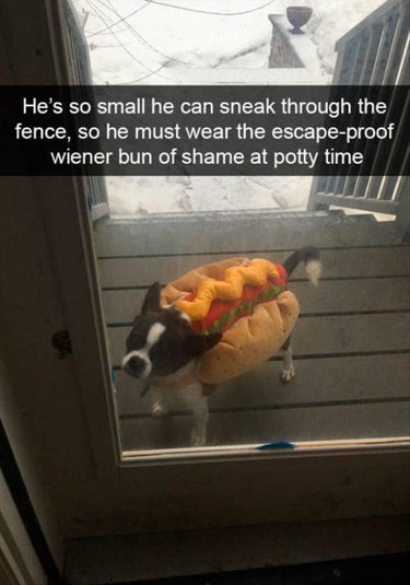 Dog has to wear hotdog costume to go outside because he is small and can sneak out of the fence