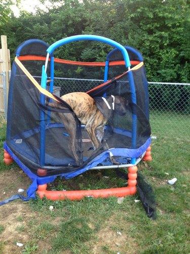 Great Dane tangled in mesh surrounding children's trampoline.