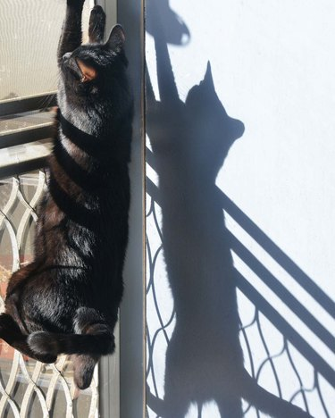 cat climbs screen door to chase shadow