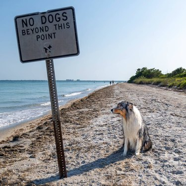 unimpressed dog poses next to no dogs beyond this point sign on beach