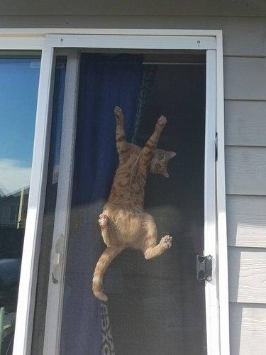 cat stuck on sliding screen door