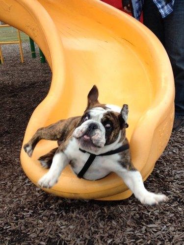 Bulldog going down a slide.