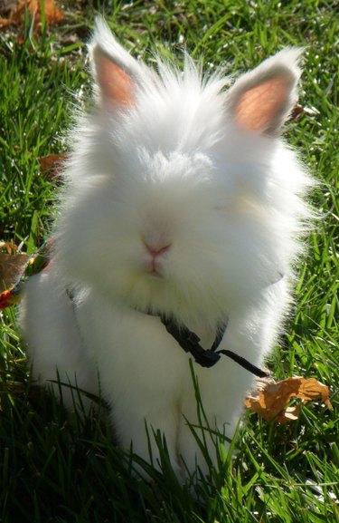 Very fluffy bunny