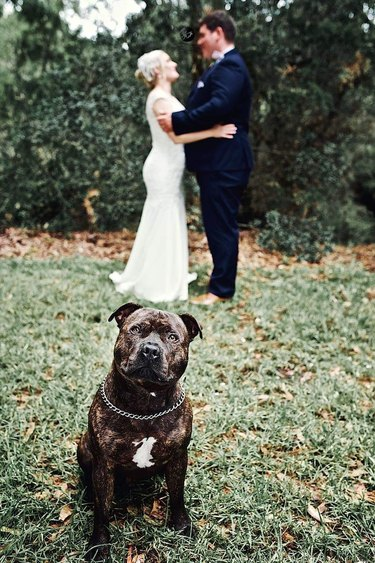 bulldog hams it up for wedding photographer