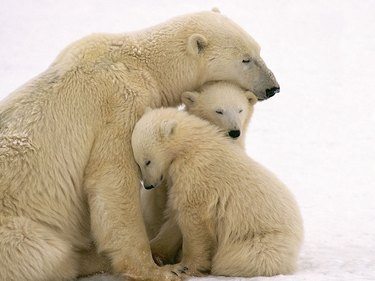Polar bear snuggling with two young cubs.